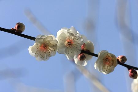 2012.02.28 和泉川 梅