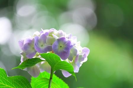 2015.06.08 瀬谷市民の森 アジサイ