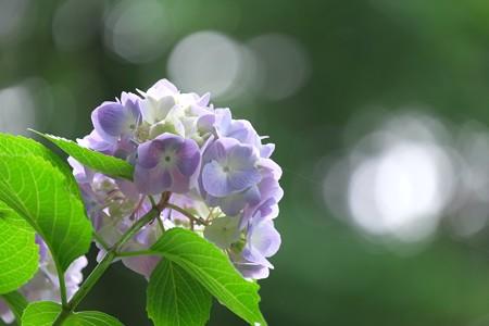 2015.06.08 瀬谷市民の森 紫陽花