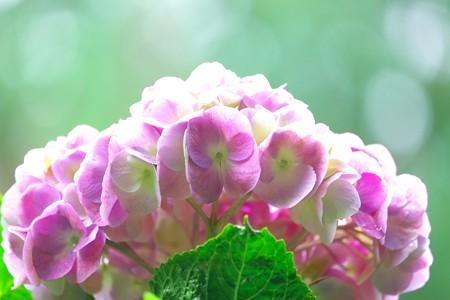 2015.06.14 瀬谷市民の森 アジサイ 雨上り