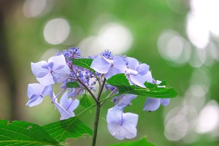 2015.06.25 瀬谷市民の森 アジサイ