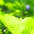 Photos: 2015.06.29 瀬谷市民の森 紫陽花にニホンカワトンボ