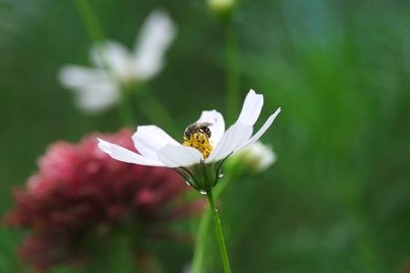 2015.08.31 和泉川 秋桜に蜂