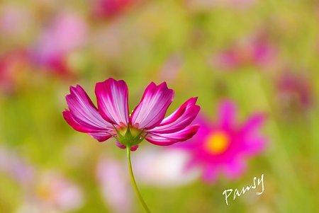 花菜ガーデンのコスモス・・2