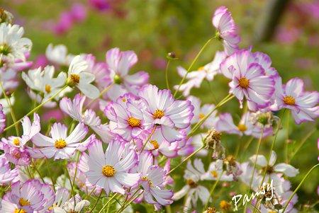 花菜ガーデンのコスモス・・3