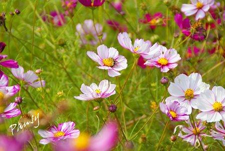 花菜ガーデンのコスモス・・4
