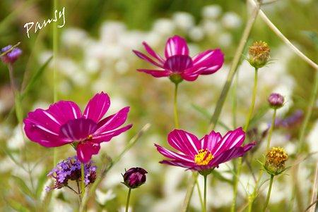 花菜ガーデンのコスモス・・5