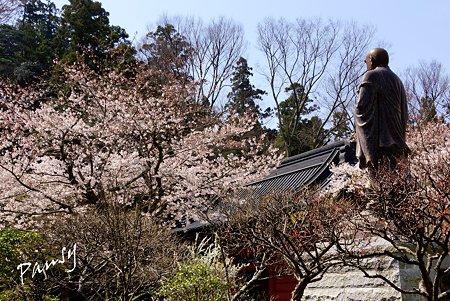 桜につつまれる日蓮上人・・ 桜 kamakura 21