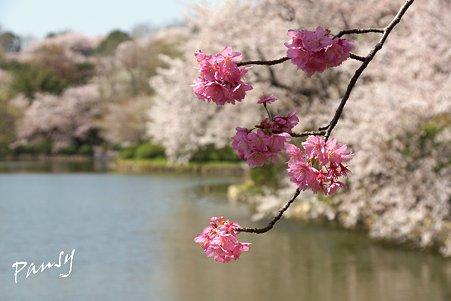 三ッ池公園の桜 12