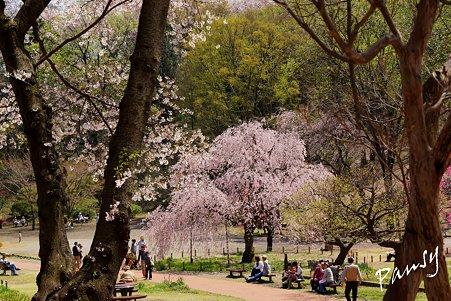 三ッ池公園の桜 44