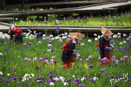 花摘みの風景・・横須賀しょうぶ園 18