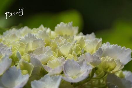 紫陽花・・10