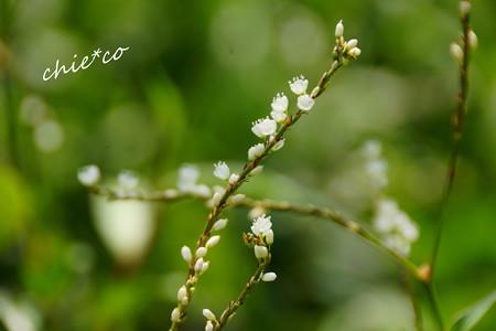 桜蓼(さくらたで)・・3
