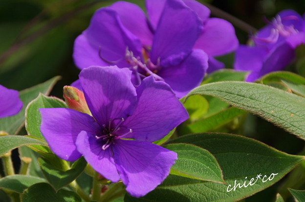 紫紺野牡丹(しこんのぼたん)・・