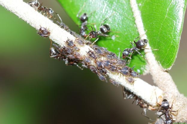 アブラムシと蟻