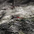 Photos: 岩肌が冷たく感じる赤トンボ
