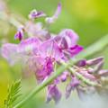 写真: 狂い咲き