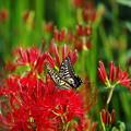 やっと撮れた花と蝶