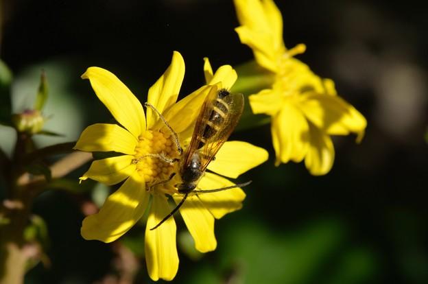 ツワブキの蜜を集めに・・・