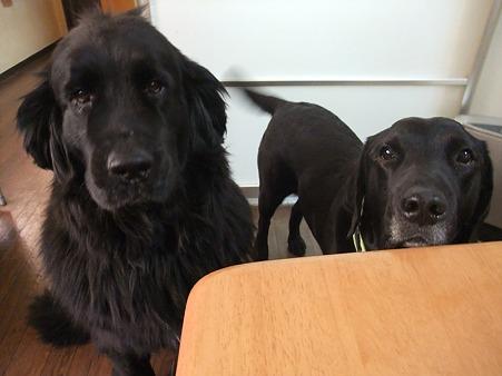 シニアの黒犬さん達
