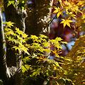 写真: 黄葉が見事!(111112)