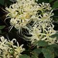 写真: 白花マンジュシャゲ20150919b