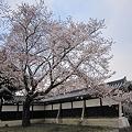 写真: 桜 (3)