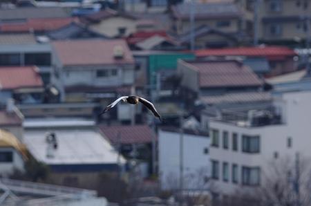 オオワシの飛翔