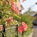 Photos: ばら