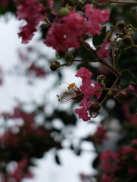 Photos: ピンク花