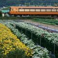 Photos: 小菊と近鉄特急