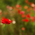 写真: ポピーの咲く丘