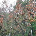 Photos: 柿の木2