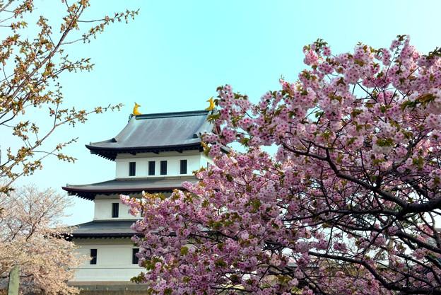 Photos: 桜が満開の松前城