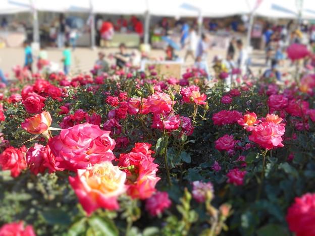 新緑の艶やかな薔薇たち