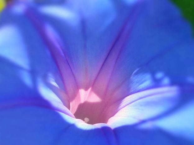 今朝のクリスタルブルー~琉球朝顔~