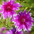 Photos: ギザギザした赤紫色のキュートな花