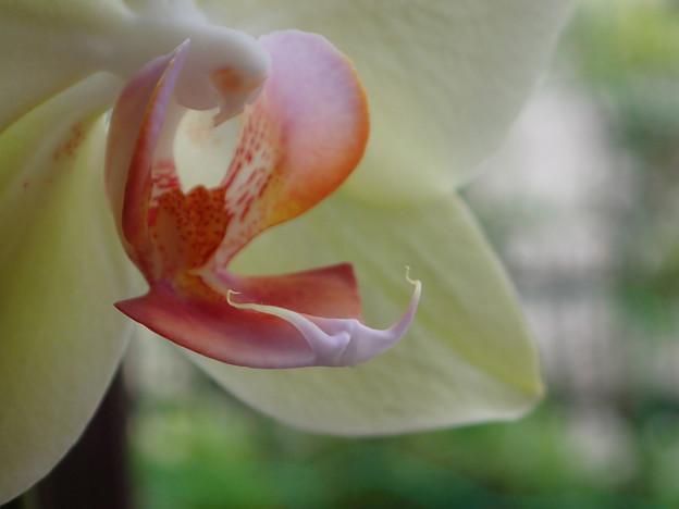 ミニ胡蝶蘭のリップ(1)