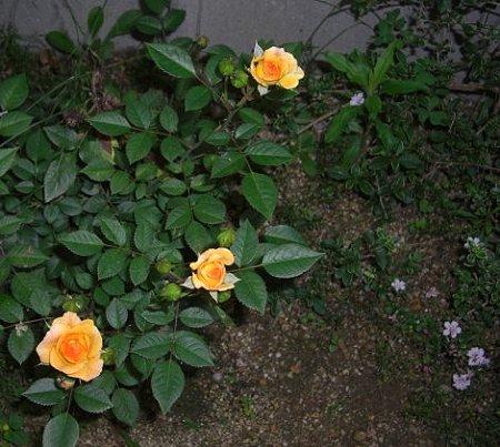 早朝の薔薇