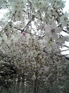 六角堂枝垂れ桜