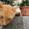 写真: 大神島のネコ様