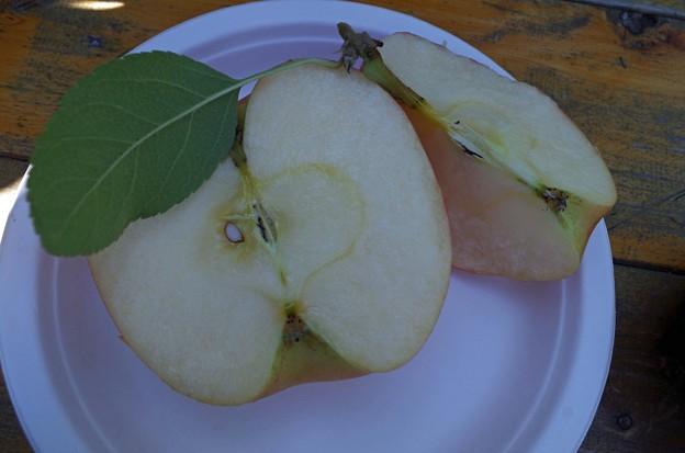 IMGP4774山口市、りんご狩り、林檎の樹らら5