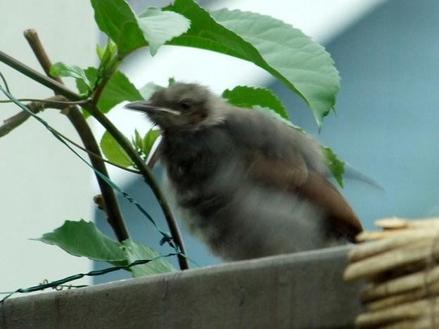 ヒヨドリの幼鳥