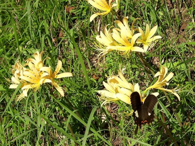 リコリスの花とアゲハ蝶