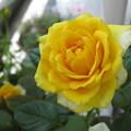 写真: 北海道では夏バラも咲かせる