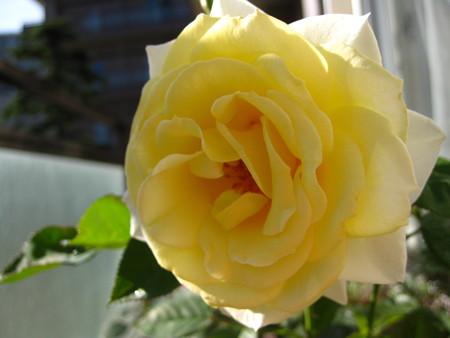 黄色に咲いたベルガモ・フォーエバー