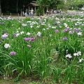 夜宮公園の花菖蒲(8)