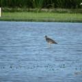 写真: 休耕田の鳥01