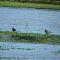 写真: 休耕田の鳥02