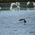 写真: 休耕田の鳥09